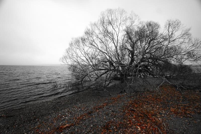 在江边的黑白单一秃头树在冬天 不生叶的分支和下落的红色叶子在Pebble海滩在乡下 库存照片