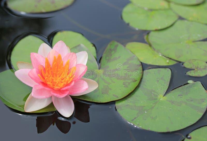 在池塘、特写镜头荷花和叶子的美丽的桃红色莲花本质上 免版税库存图片