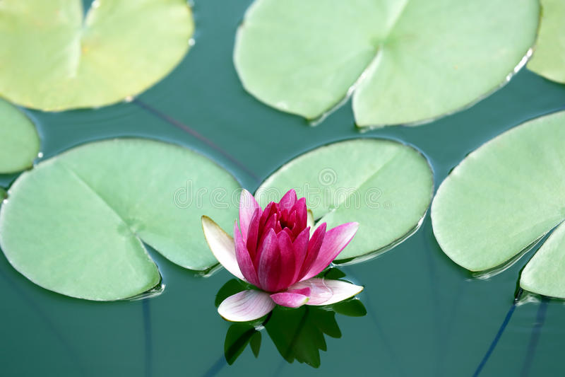 在池塘关闭的水多的开花的莲花  免版税图库摄影
