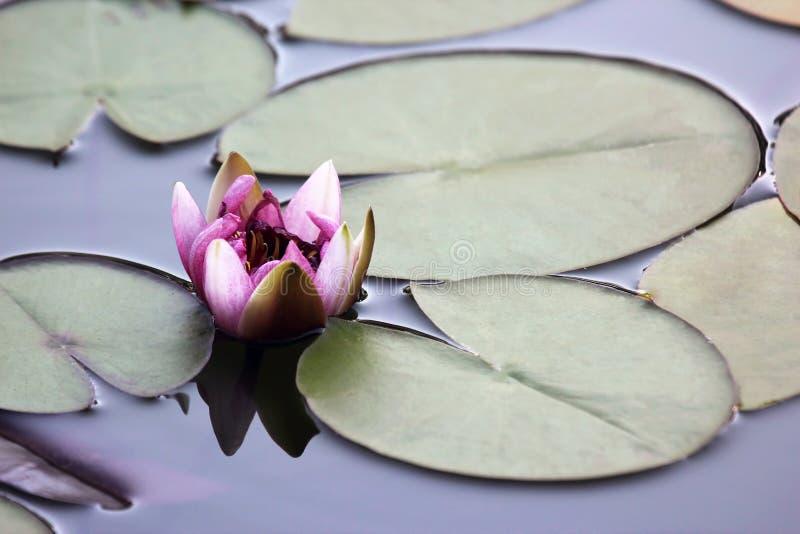 在池塘关闭的水多的开花的莲花  库存图片