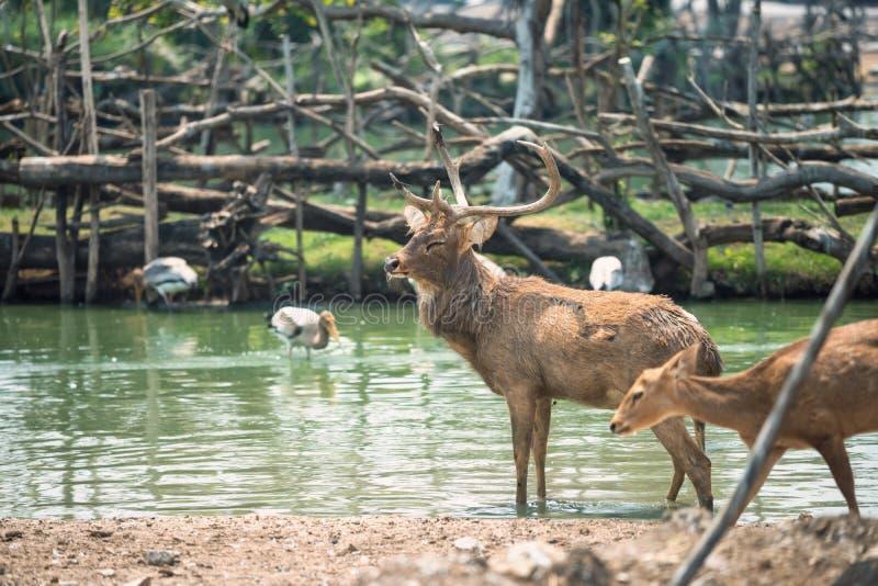 在池塘勒住与婴孩的鹿 免版税库存照片