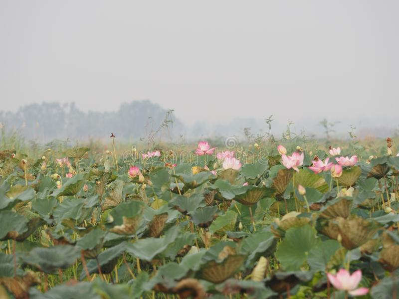 在池塘桶盖boraphet的莲属莲桃红色花 库存照片