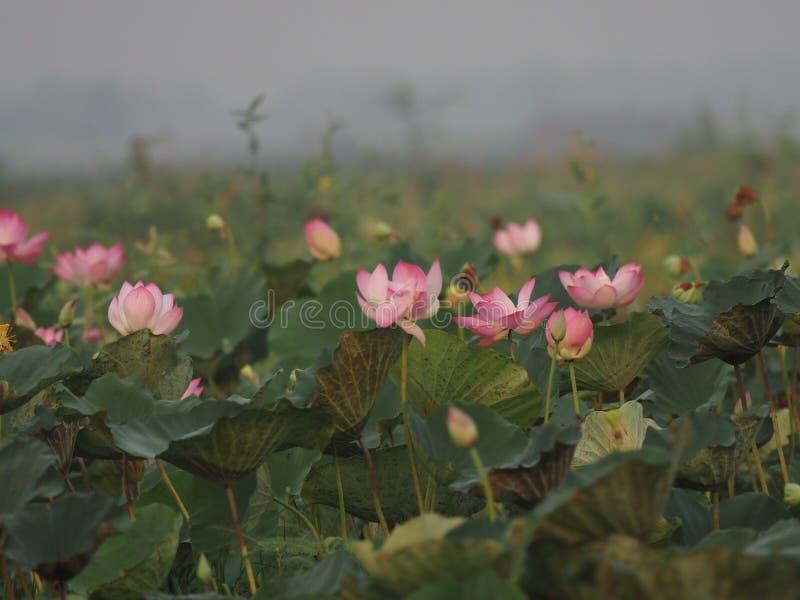 在池塘桶盖boraphet的莲属莲桃红色花 免版税库存图片