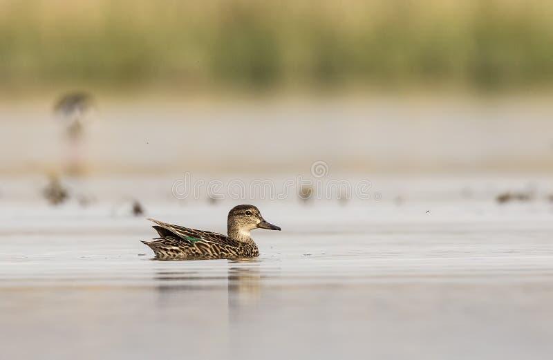 在池塘的共同的小野鸭 图库摄影