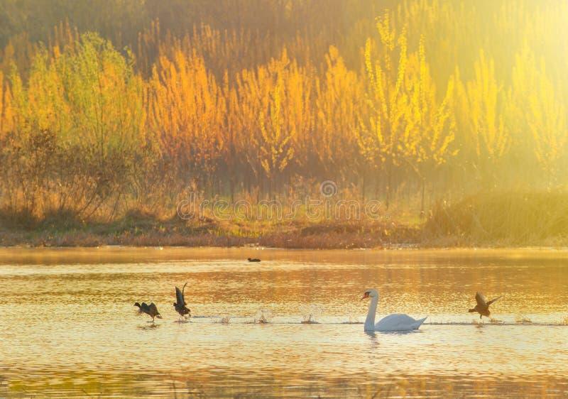 在池塘的天鹅日出的 库存图片