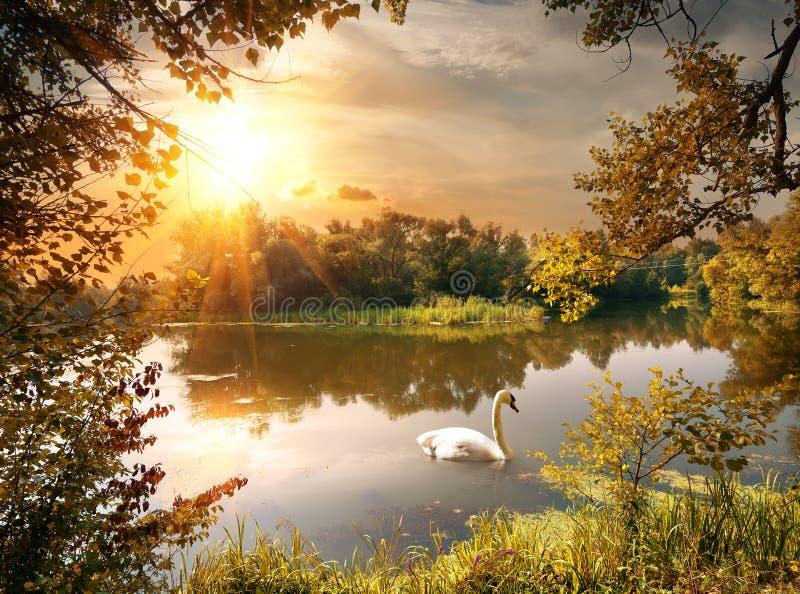在池塘的天鹅 免版税库存图片