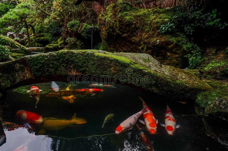 在池塘的小井鱼在京都,日本 库存图片