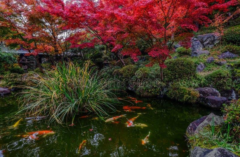 在池塘的小井鱼在京都,日本 免版税库存照片