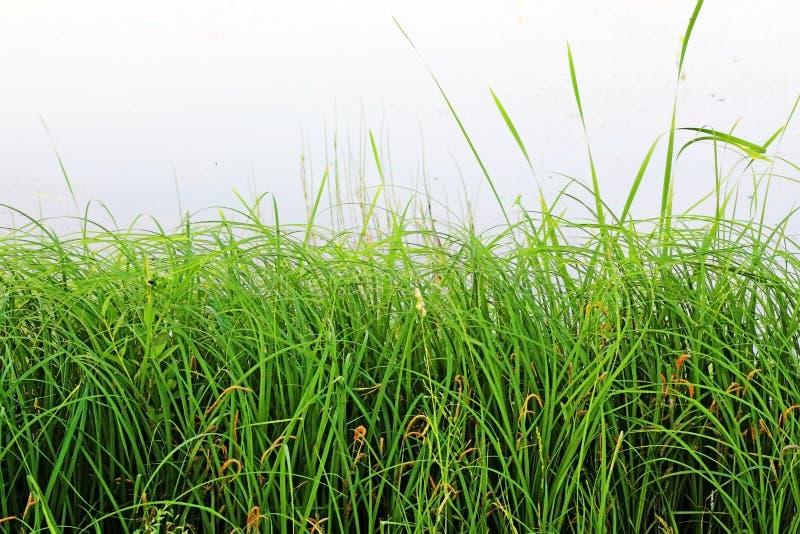在池塘的岸的绿草作为背景 库存照片