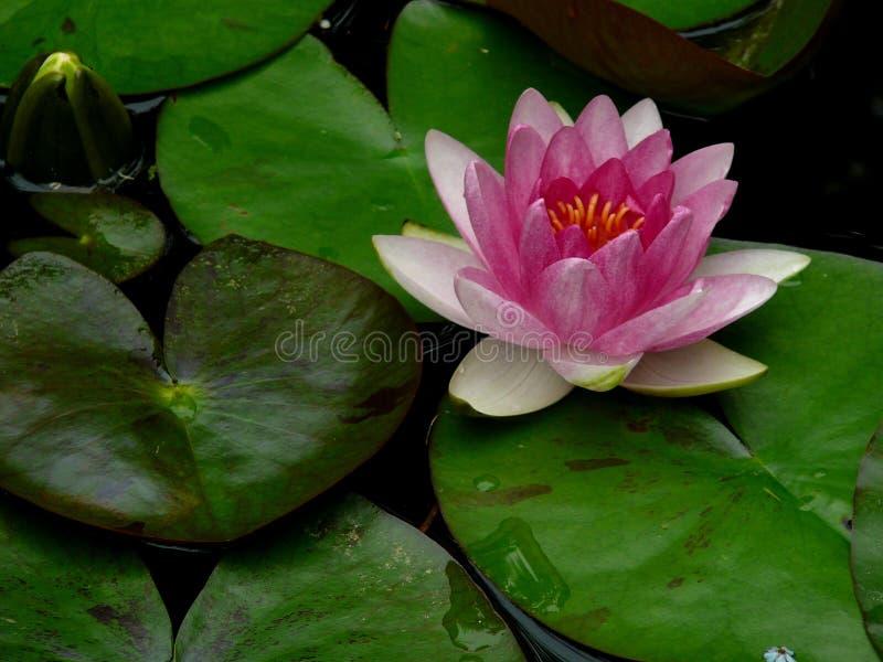 在池塘的桃红色荷花 免版税库存图片