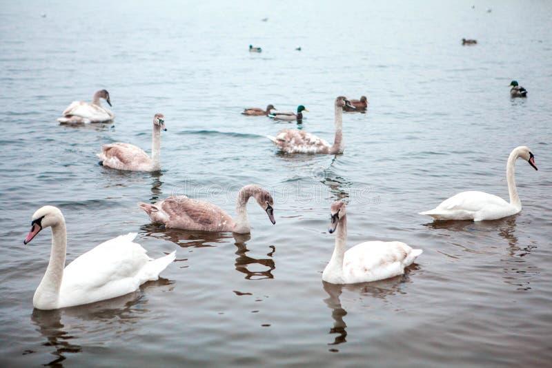在池塘的狂放的天鹅群 免版税库存图片