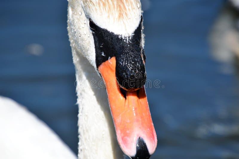 在池塘的疣鼻天鹅游泳 免版税图库摄影