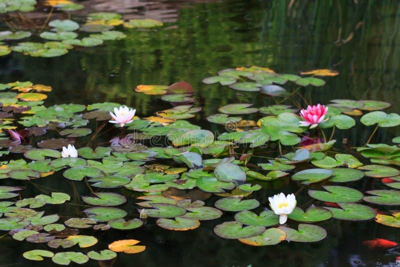 在池塘的白色和桃红色荷花 免版税库存图片