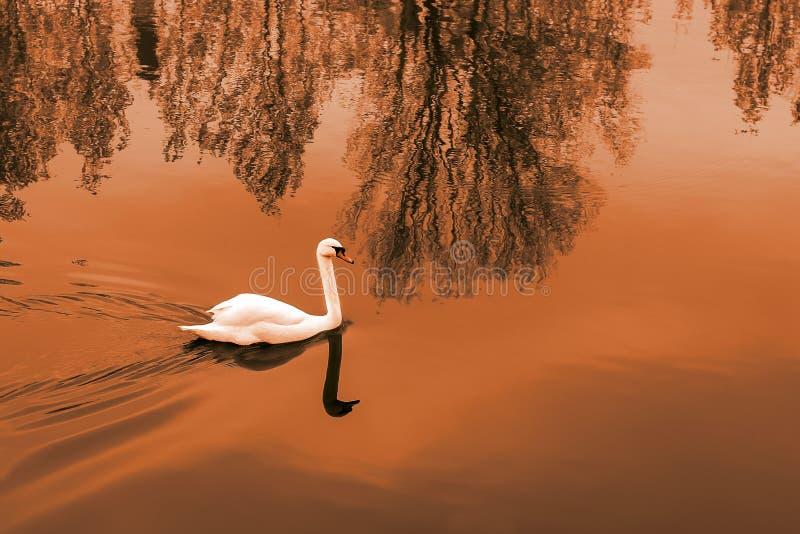 在池塘的白色天鹅日落的 库存图片