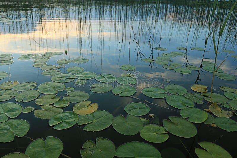 在池塘的睡莲叶 库存图片