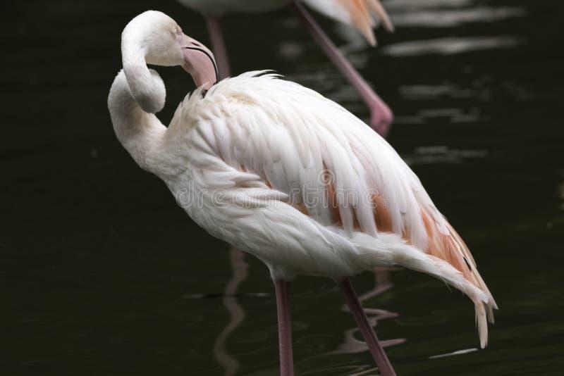 在池塘的边缘的白色鹈鹕,看下来,天黑暗背景 免版税库存图片