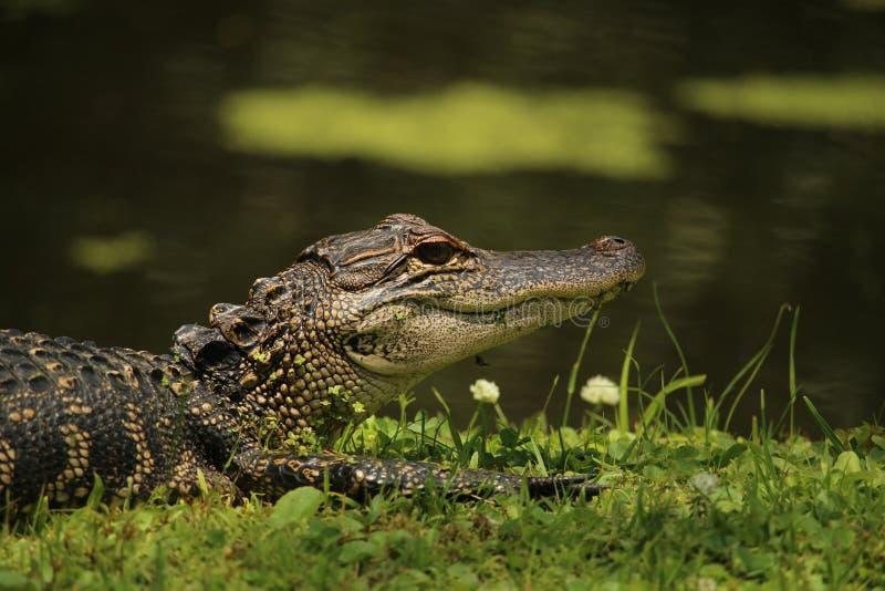 在池塘的银行的鳄鱼 库存照片