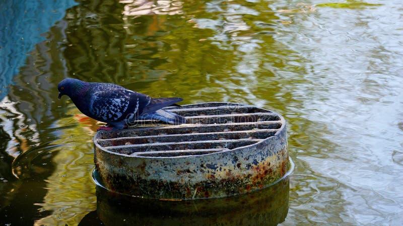 在池塘的鸽子 免版税库存图片
