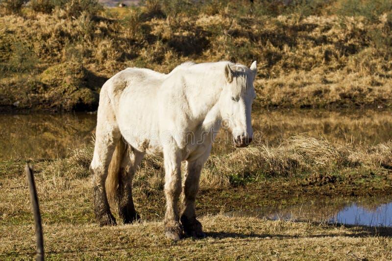 在池塘边缘的美丽的白色公马 库存照片