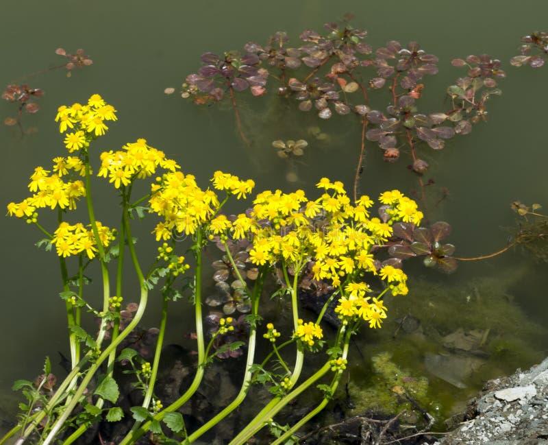在池塘边缘的黄色花 免版税库存图片