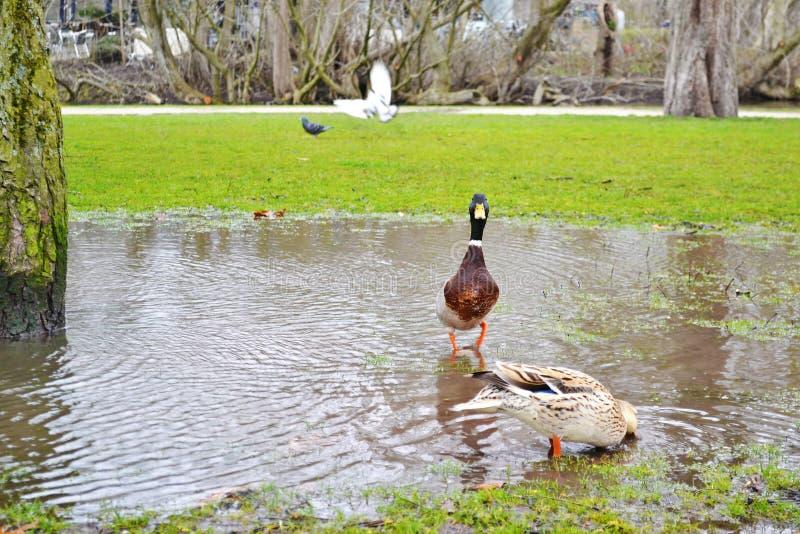 在池塘里面的美丽的鸭子Vondelpark的阿姆斯特丹荷兰 免版税图库摄影