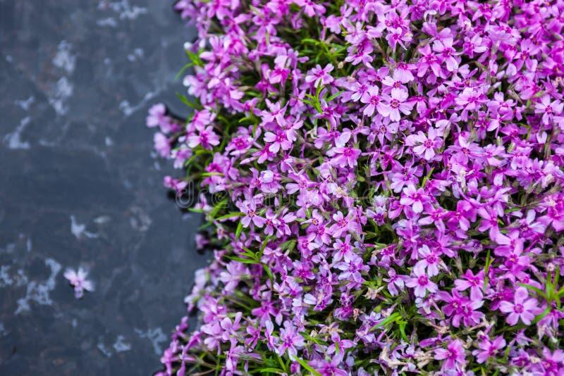 在池塘附近的开花的桃红色福禄考福禄考subulata 库存照片