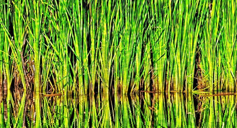 在池塘附近的杂草 免版税库存照片