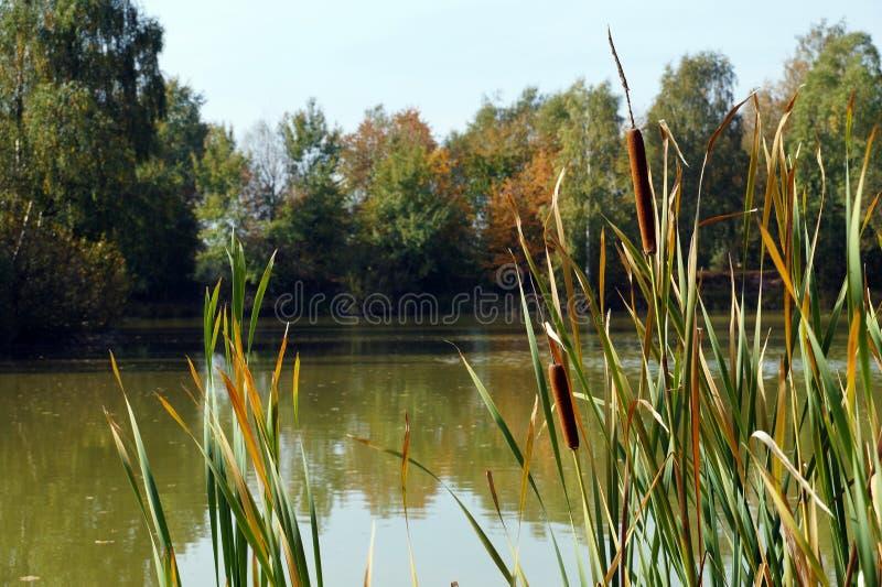 在池塘附近 一棵共同的沿海植物叫作:芦苇、香蒲、废物、玉米面热狗草、沼泽香肠或者纸莎草 免版税库存照片