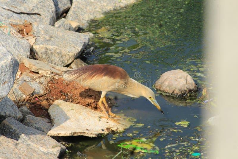 在池塘饮用水的一只苍鹭 免版税库存图片