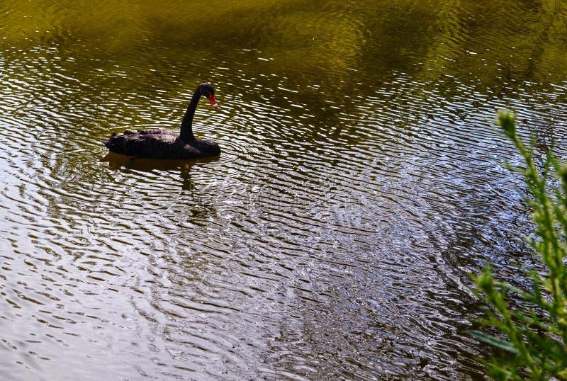 在池塘黑天鹅在波纹漂浮 免版税库存图片