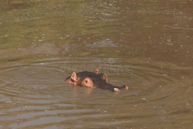 在池水的河马 库存照片