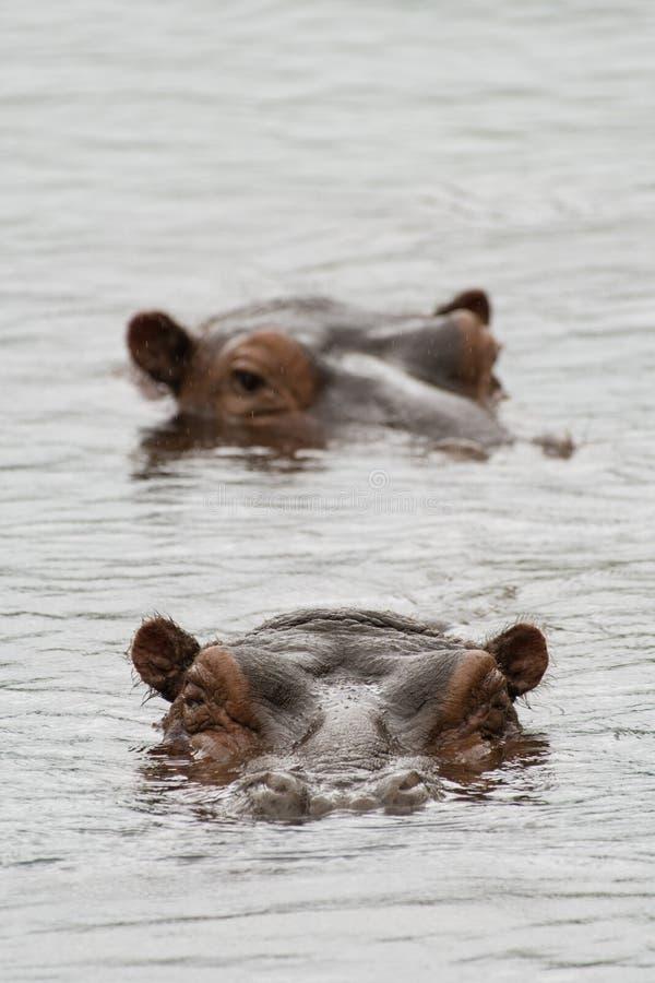 在池的河马 免版税库存图片