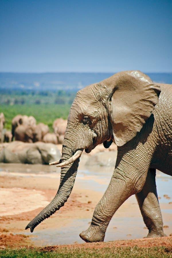 在池附近的走的大象  免版税库存图片