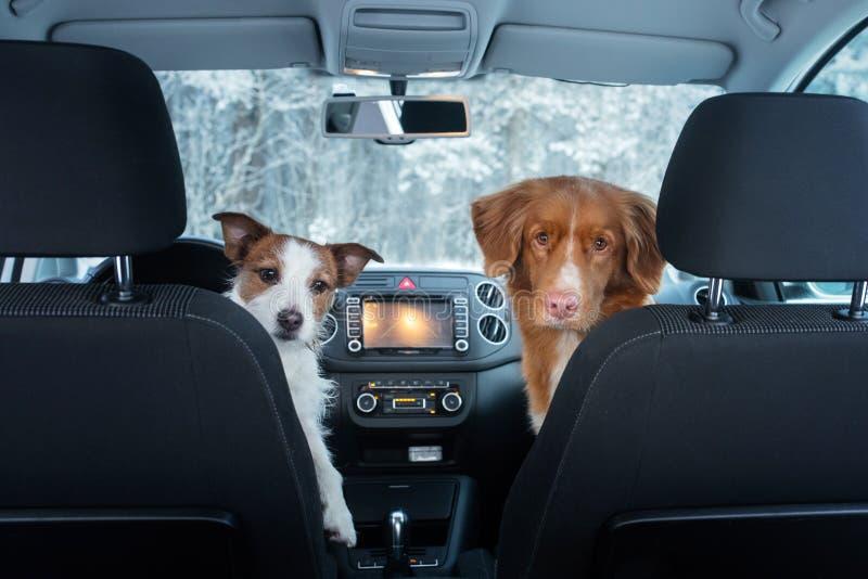 在汽车的两条逗人喜爱的狗在位子神色 与宠物的一次旅行 新斯科舍鸭子敲的猎犬和杰克罗素狗 免版税图库摄影
