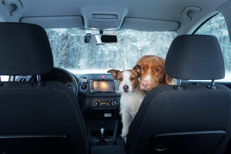 在汽车的两条逗人喜爱的狗在位子神色 与宠物的一次旅行 新斯科舍鸭子敲的猎犬和杰克罗素狗 免版税库存图片