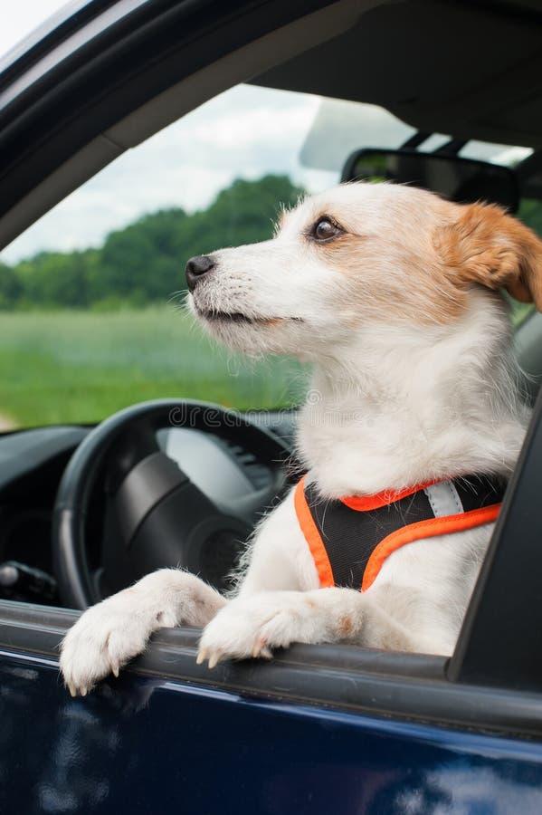 在汽车的混杂的品种狗狗 免版税图库摄影