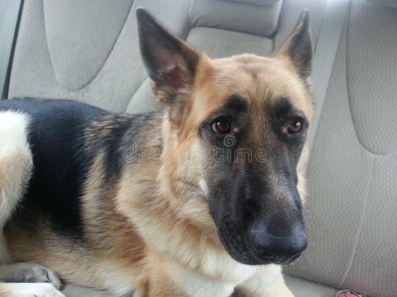 在汽车的狗 库存图片