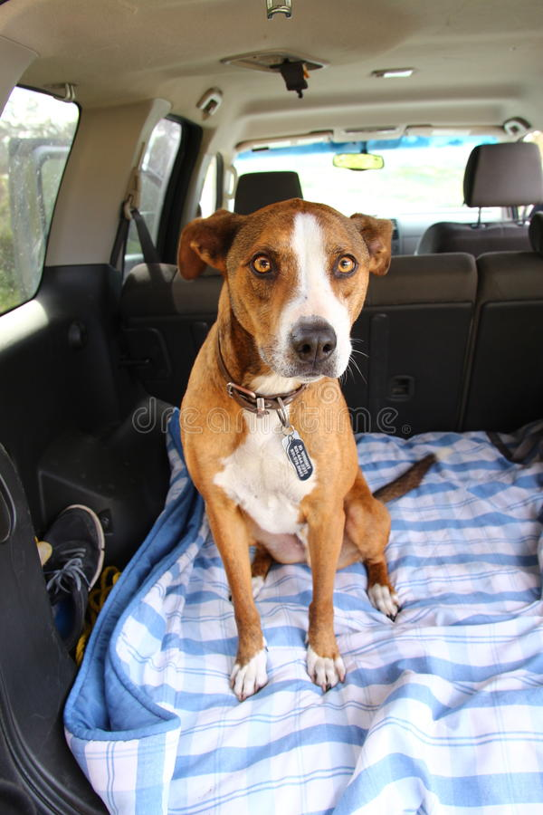 在汽车的狗 免版税库存照片