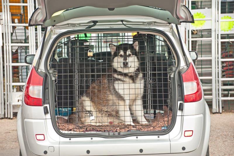 在汽车里面的多壳的狗 免版税库存图片