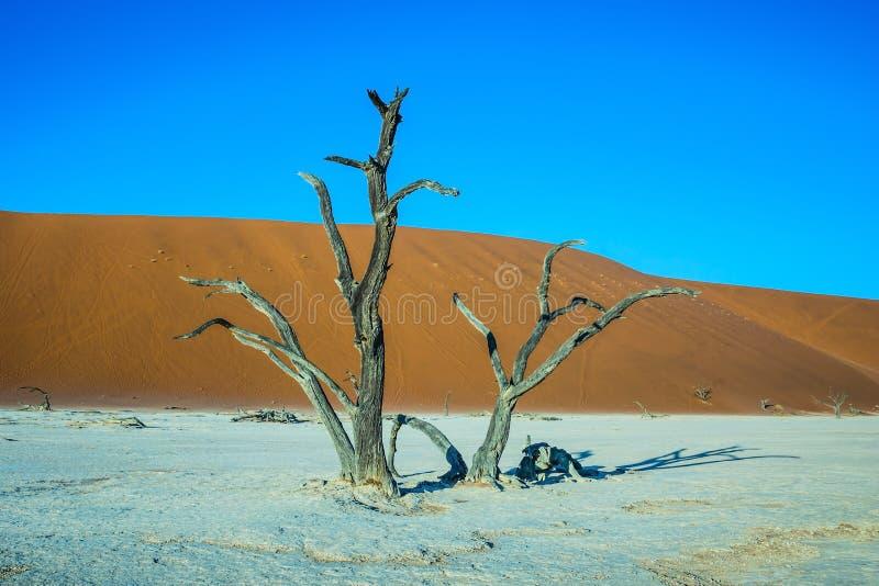 在沙丘中的风景树 免版税库存照片