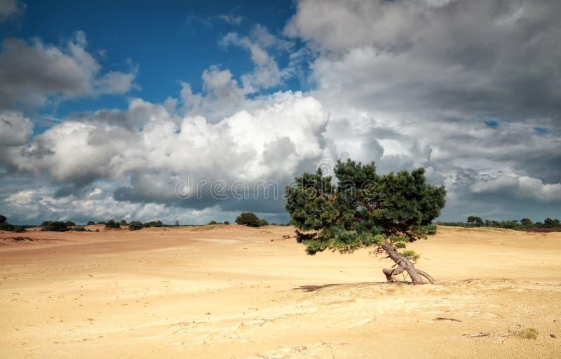 在沙丘和风雨如磐的天空的杉树 免版税库存照片