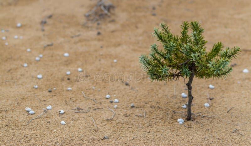 在沙丘的小灌木树 库存照片