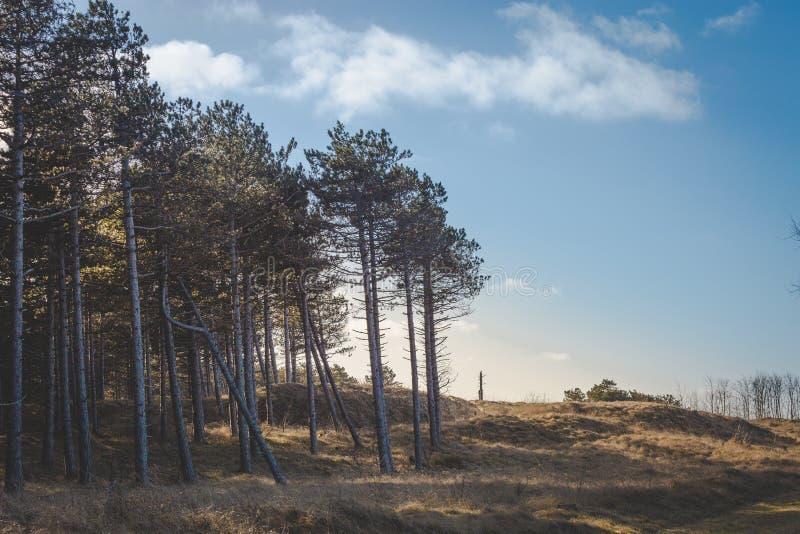 在沙丘的松树在一晴朗的天空蔚蓝天 免版税库存照片