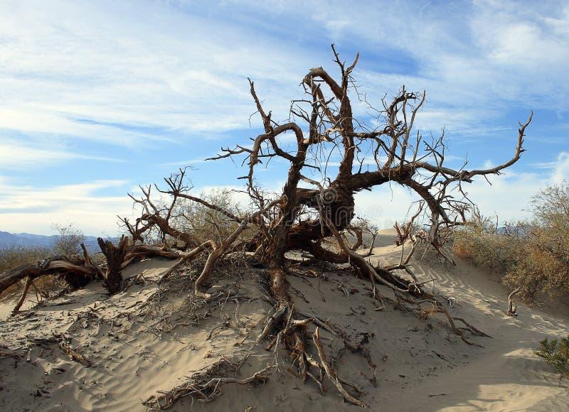 在沙丘的死的树在死亡谷国家公园 免版税库存照片