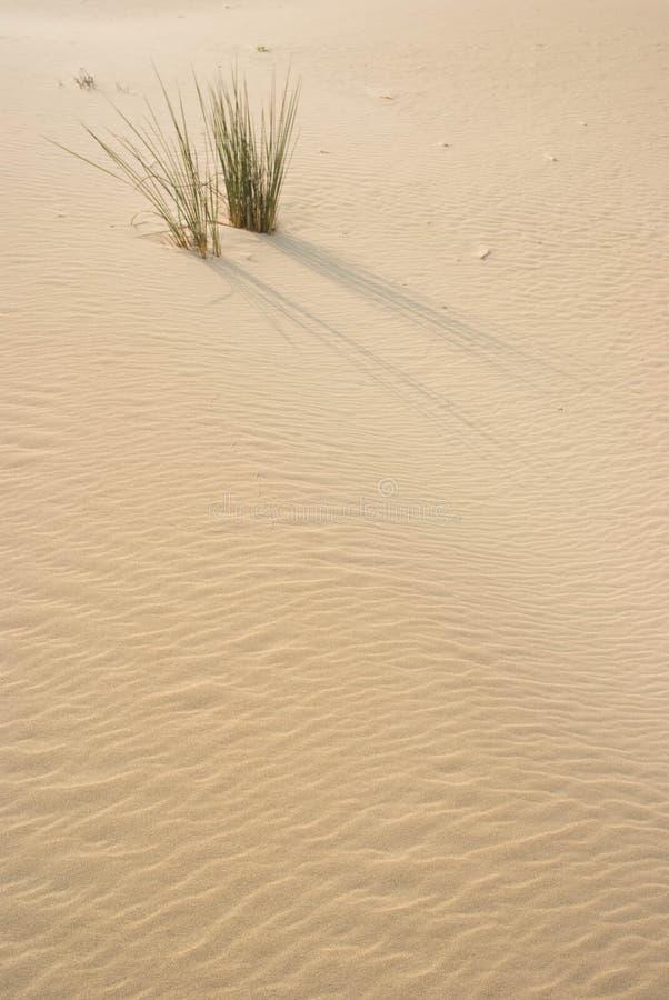 在沙丘的草 免版税图库摄影