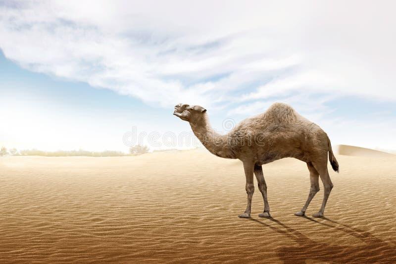 在沙丘的骆驼身分 图库摄影