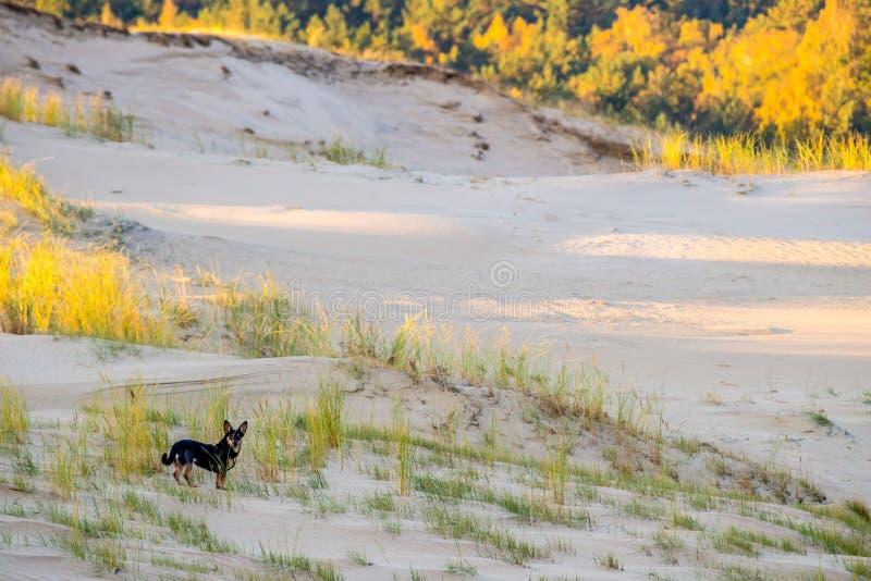 在沙丘风景的小犬座 免版税库存图片