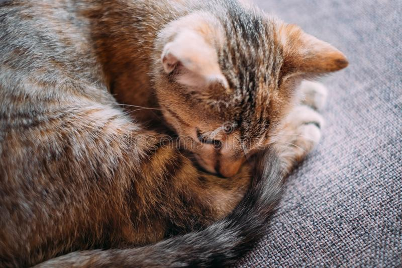 在沙发卷起的小猫说谎 免版税库存图片