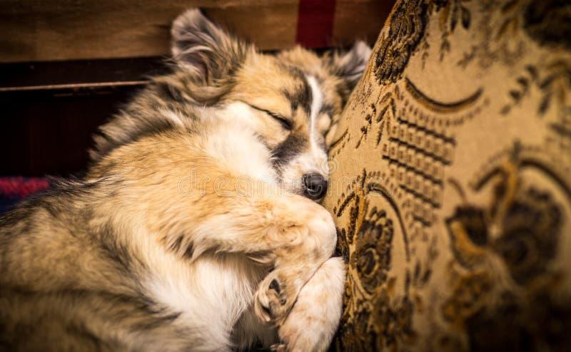 在沙发的狗睡眠 库存照片
