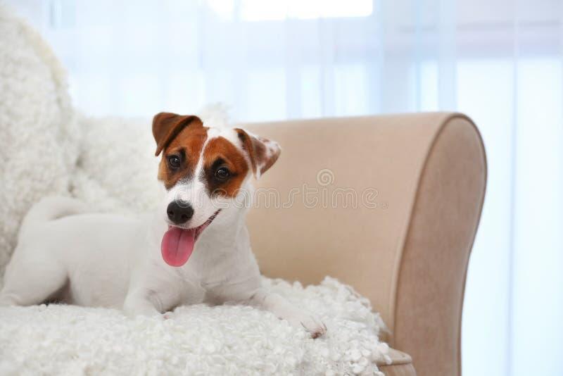 在沙发的逗人喜爱的杰克罗素狗 库存照片